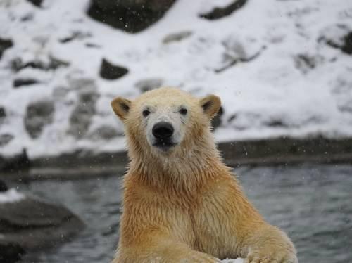 Eisbär schaut in die Kamera