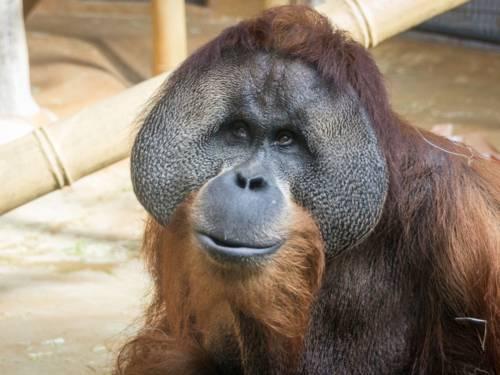 Ein Sumatra Orang-Utan.