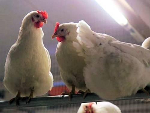 Hühner auf Stange sitzend