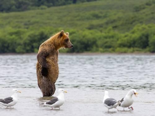 Aufrecht stehender Bär in einem Gewässer