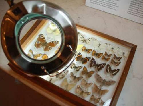Ein Schaukasten mit Schmetterlingen.