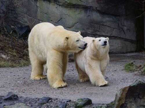 Zwei Eisbären gehen nebeneinander