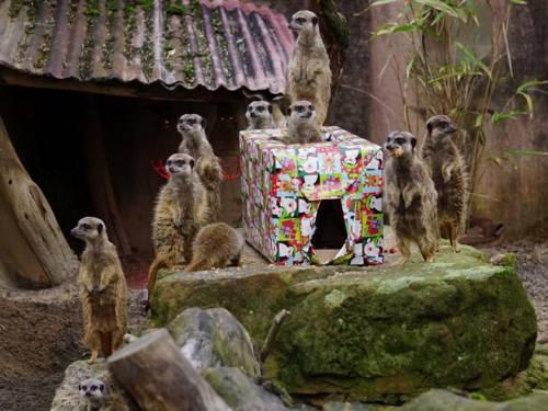 Gruppe von Erdmännchen an einem Geschenk