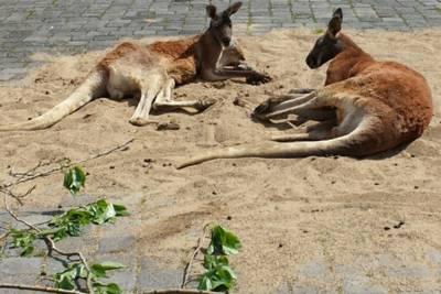 Zwei Kängurus liegen im Sand auf einer gepflasterten Straße.