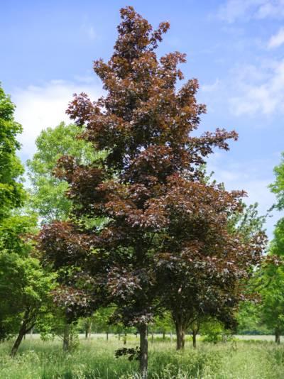 Dunkelrot belaubter Baum