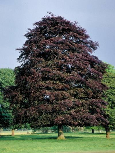 Rotblätteriger Baum