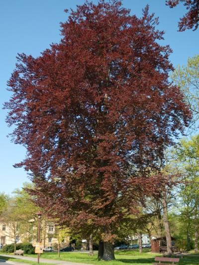 Baum mit roten Blätter