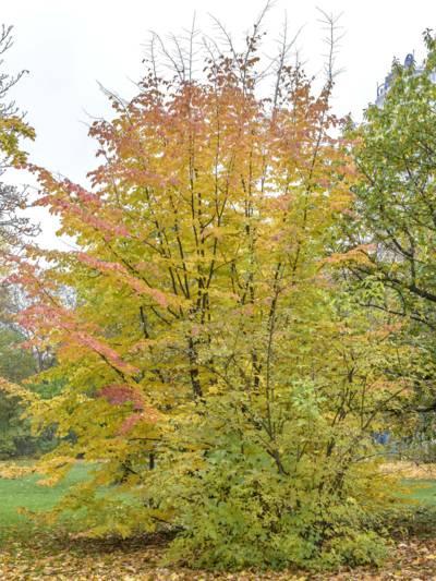 Strauchartiger Baum