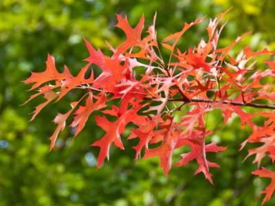 Rotgefärbte Blätter