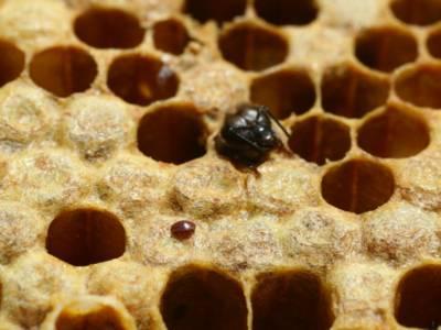 Von Varroa befallene Wabe mit einer Biene