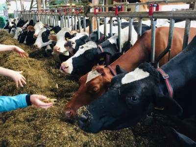 Kühe im Stall durch Gitter von den Besuchern getrennt, Kinderhände mit Futter