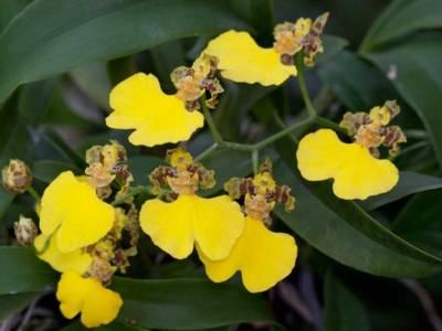 Oncidium herrenhusanum