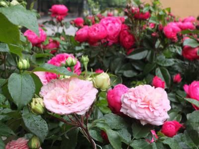 Rosen beim Infopavillon