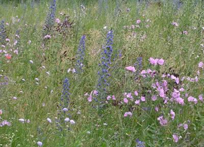 Eine Wiese mit blühenden Wildblumen
