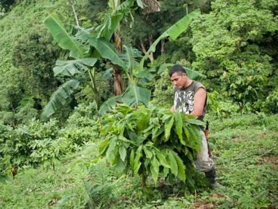 Farmer untersucht jungen Kakaobaum