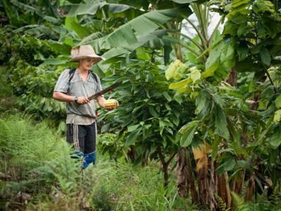 Ein junger Farmer bei der Kakaoernte im Wald