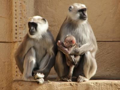 Zwei Affen mit einem Jungtier.