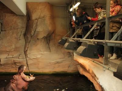Kinder füttern ein Flusspferd.