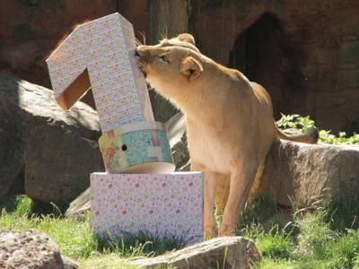 Löwen mit einer Eins aus Karton.