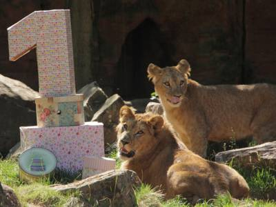 Zwei Löwen in der Sonne.