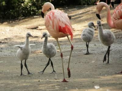 Vier kleine Flamingos mit zwei großen.