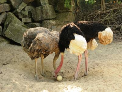 Straußenpaar mit Ei.