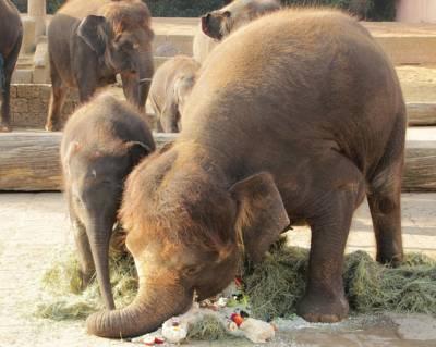 Zwei Elefanten beim Verzehren einer Torte.