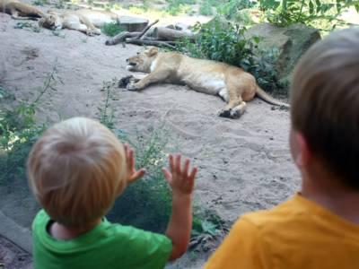 Zwei Kinder stehen an einer Scheibe, hinter der eine Löwin liegt.