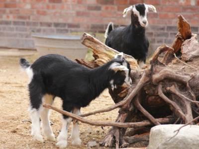 Zwei Ziegen an einem Holzstamm.