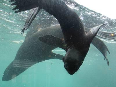 Junge Seebärin mit Mutter im Wasser.