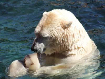 Eisbär im Wasser, der an einem Eisblock schleckt.