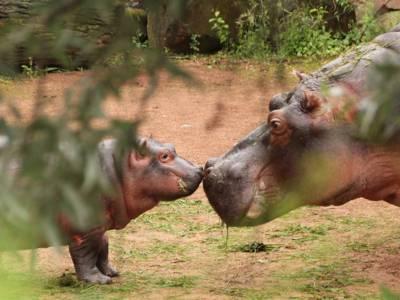 Kleines Flusspferd, das eine große Verwandte mit einem Anstupser begrüßt.
