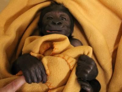 Ein Gorillababy in einer gelben Decke.