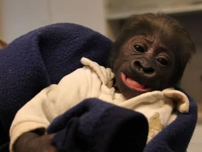 Ein Gorillababy schaut in die Kamera.
