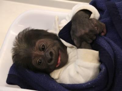 Ein Gorillababy in eine Decke gehüllt.