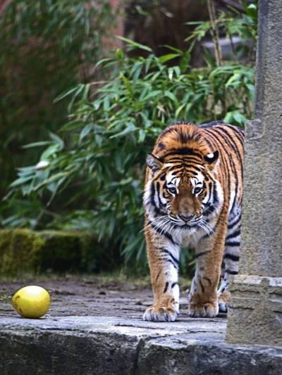 Tiger an einem Baum.