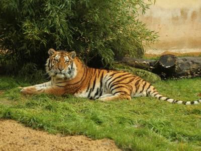 Der Tiger liegt.