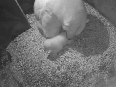 Eisbär-Baby wird von seiner Mama geputzt.