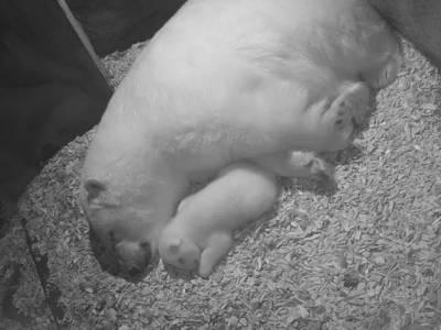 Eisbär-Baby kuschelt sich an seine Mama
