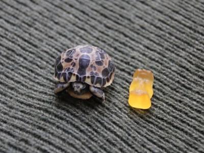 Schildkröte neben Gummibärchen