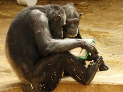 Zwei Schimpansen, die sich ein Buch ansehen