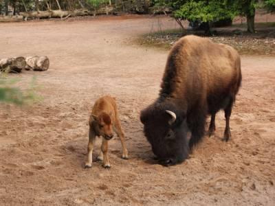 Eine Bison-Mutter mit ihrem Jungen.