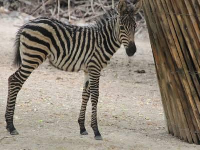 Ein junges Zebra.