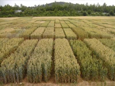 Parzelliertes Getreidefeld