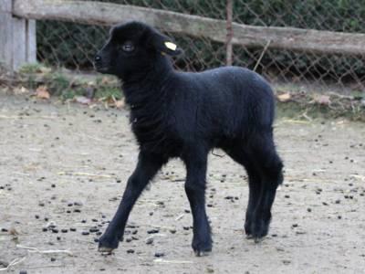 Kleines schwarzes Schaf