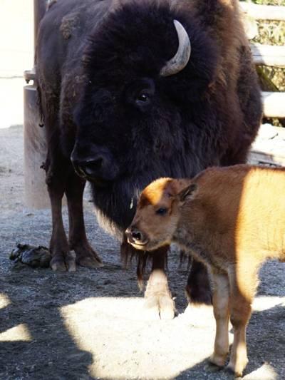 Ein großes und ein kleines Bison