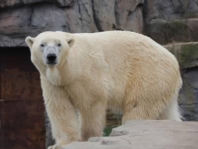 Weißer Bär