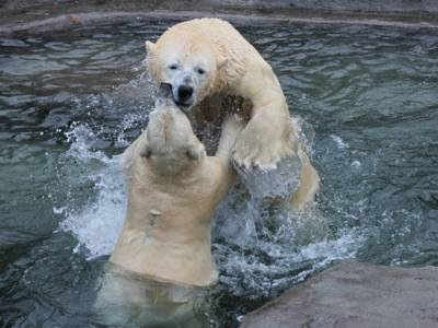 Zwei Eisbären ringen miteinander im Wasser