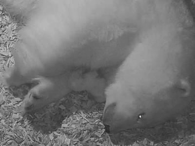 Eisbär mit Jungtier in einer Wurfhöhle liegend