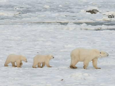 Zwei kleine Eisbären, ein großer Eisbär mit Halsband in verschneiter Landschaft